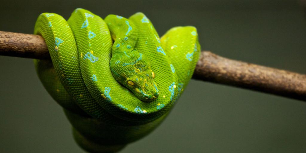 Snake in Tree- 865