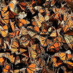 Monarchs–Migrating and Non-migrating