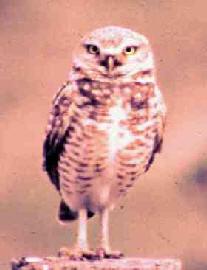 NA0202W4-owl1.jpg