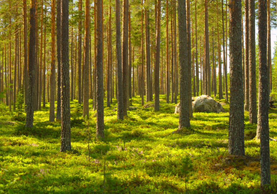 Sunny,Pine,Forest,In,Northern,Finland